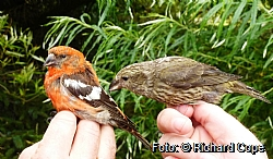 Two-barred crossbill and common crossbill