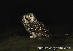 Tengmalm's owls are active at night, and resting during the day.