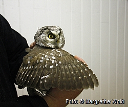 Owl's ages are determined from color nuances on the wing.