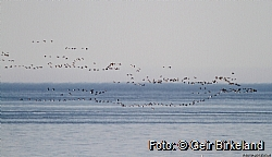 Brent geese on their way to Svalbard