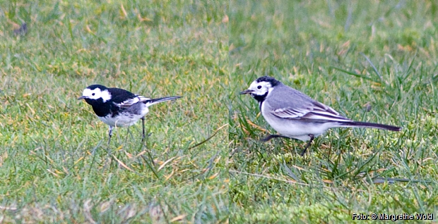 Pied wagtail (left) and white wagtail (right).