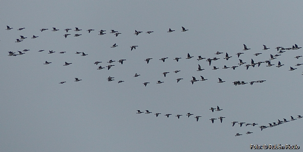 Brent Geese migrating NW this spring