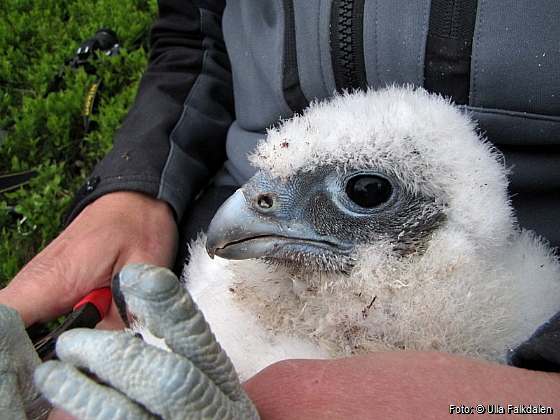 The gyrfalcon chick being ringed