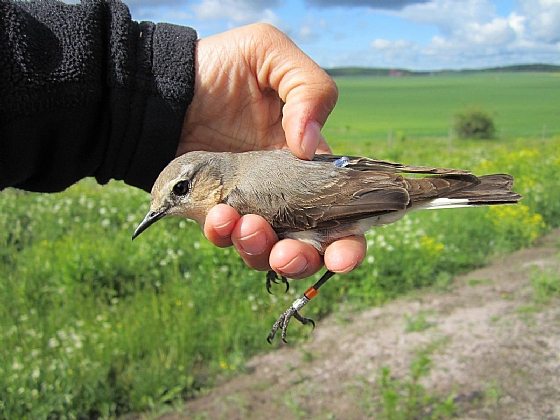 Female wheatear with geolocator attached, Sweden, May 2012.