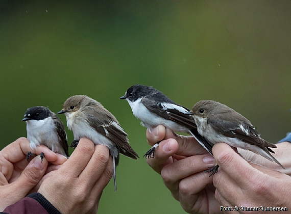Pied Flycatcher have been ringed with record numbers this spring.